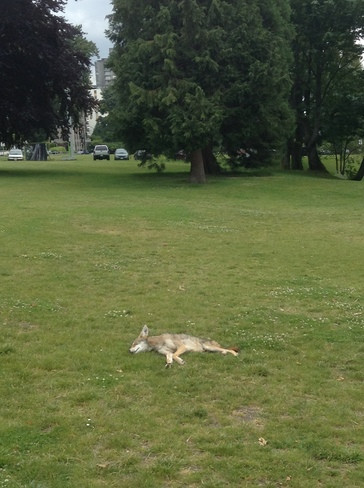 Wily Coyote Sunning itself on the grassy area on Beach Avenue, English Bay Vancouver, BC