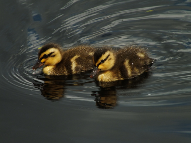 Duckling duo Chilliwack, BC