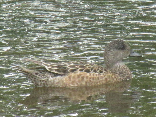 The female Green Winged Teal Sackville New Brunswick
