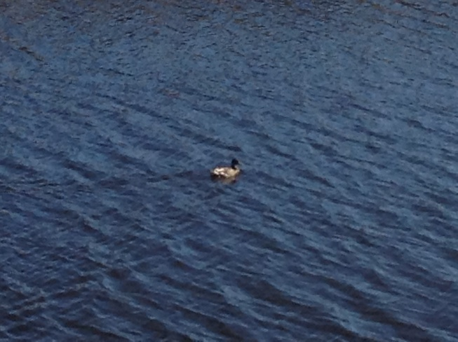 Loon Swimming Sydney, Nova Scotia Canada