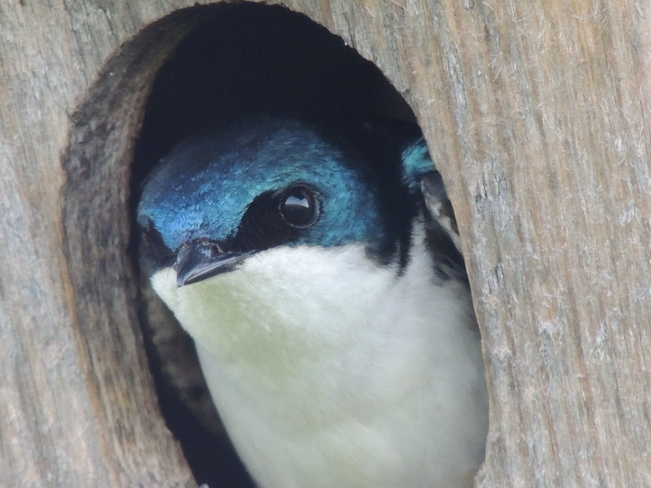 Beautiful Tree Swallow Cold Creek Conservation Area, Nobleton, ON