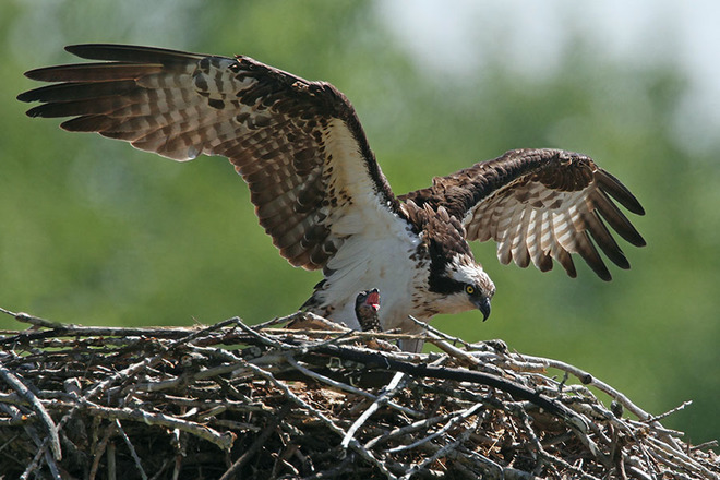 Mother Osprey dwarfs her new chick Iroquois, Ontario Canada