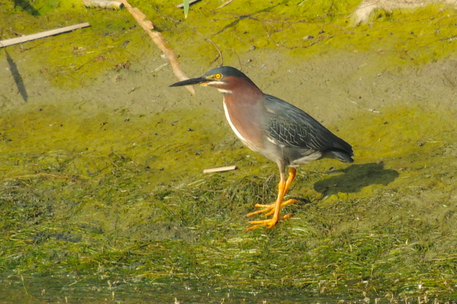Green Heron Uncovered