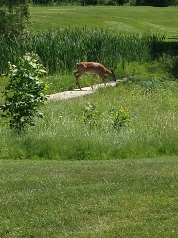 deer on golf course at wirk Ottawa, Ontario Canada