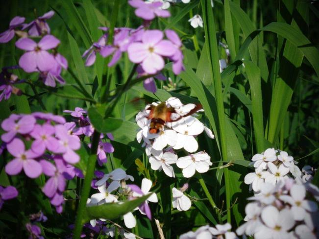 Clearwing Hummingbird Moth Saint John, NB