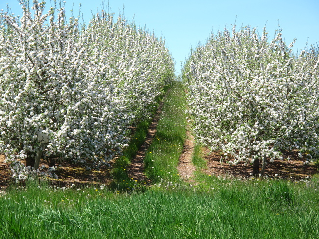 Apple blossom time in Grand Pre in the Annapolis Valley Grand Pre, Nova Scotia