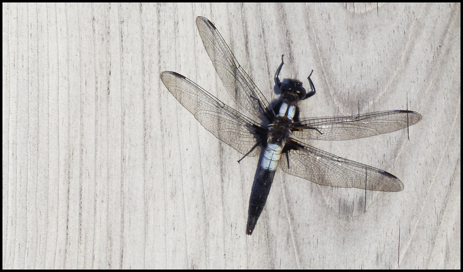 Dragon fly on a fence.