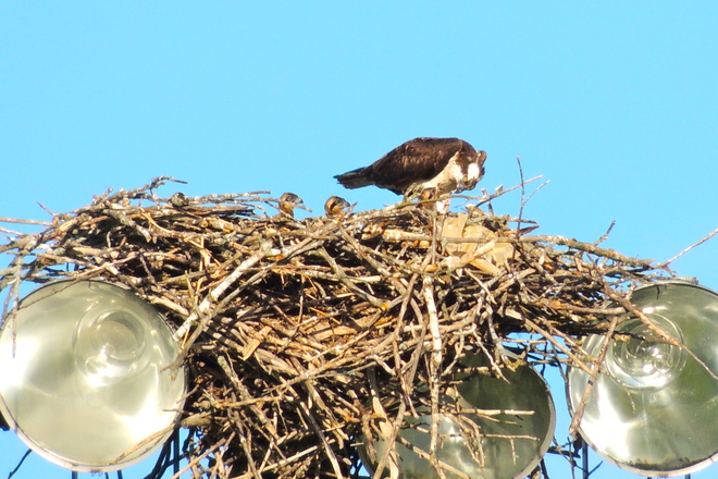 Osprey Triplets - Third Year in a Row !!!