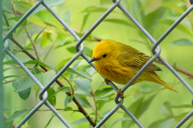 Yellow Warbler Sylvan Lake, AB
