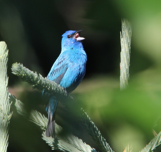 Indigo Bunting Fergus, ON