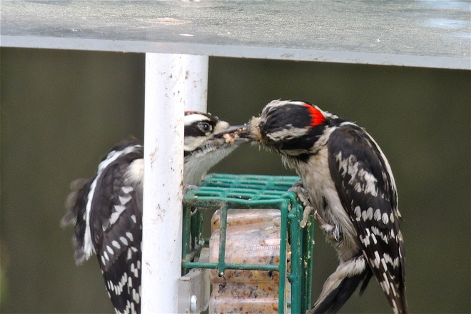 Resident Downy Woodpecker - AKA - Heartly Does it again.