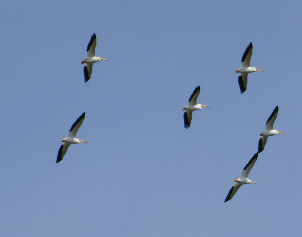PELICAN FLY PAST