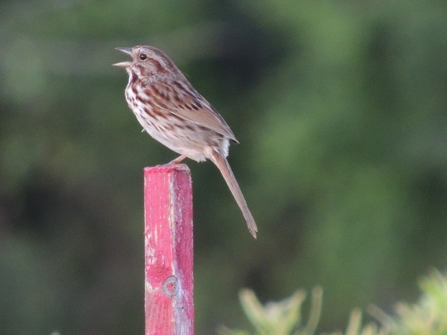 Song Sparrow Tom Taylor Trail, Aurora, ON L4G 6T6, Canada