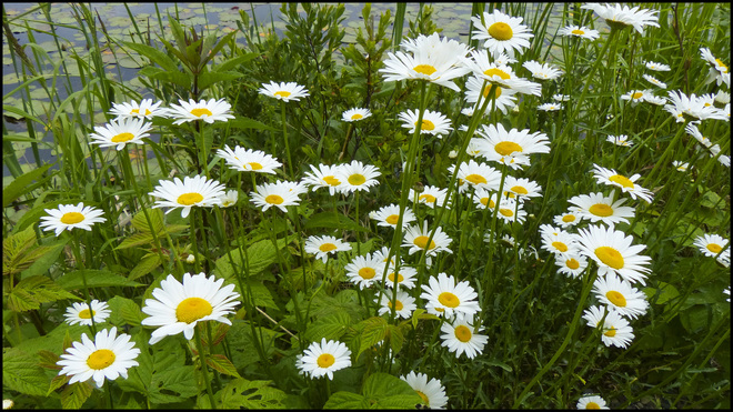 Daisies by the pond, Elliot Lake.