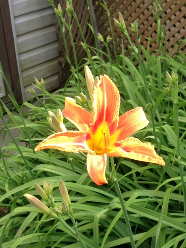 the 1st tiger lily in my garden Guelph, Ontario Canada