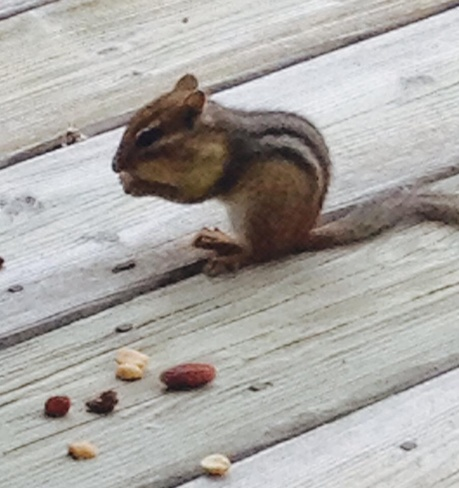 Chipmunk Eating Trail Mix London, Ontario Canada