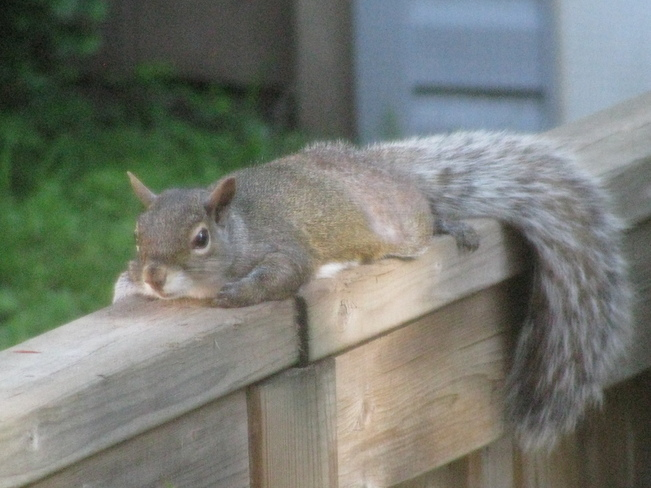 Tired Out Squirrel St. Catharines, Ontario Canada