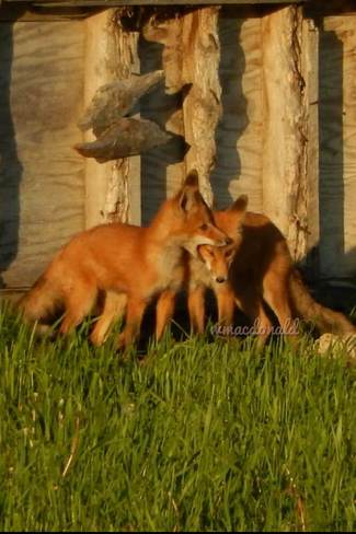 playful foxes Olds, Alberta Canada