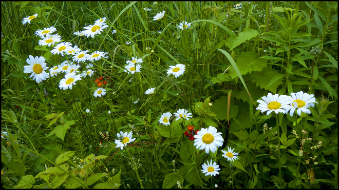 Daisies among grasses, Elliot Lake.