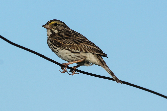 Savannah Sparrow Kingston, Ontario Canada