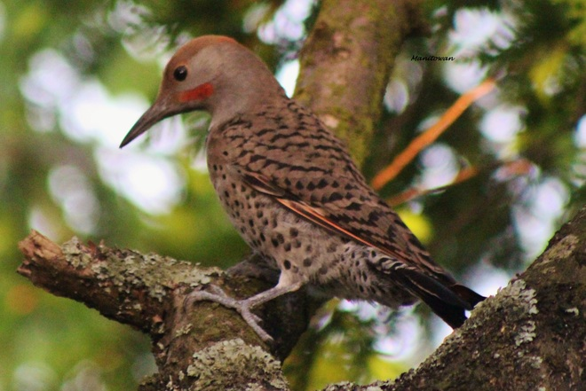 Natures Profile Via Northern Flicker New Westminster, British Columbia Canada