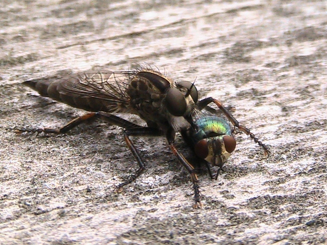 Robber Fly Capreol, ON