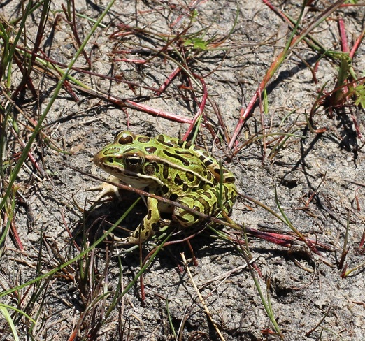 Frog Tobermory, ON