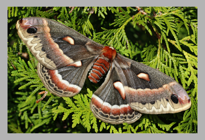 Cecropia Moth Sauble Beach, Saugeen Shores, ON