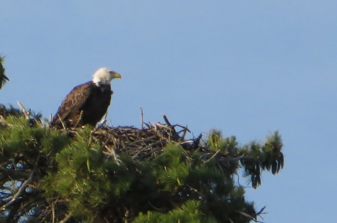 Eagle on Nest Pointe au Baril, ON