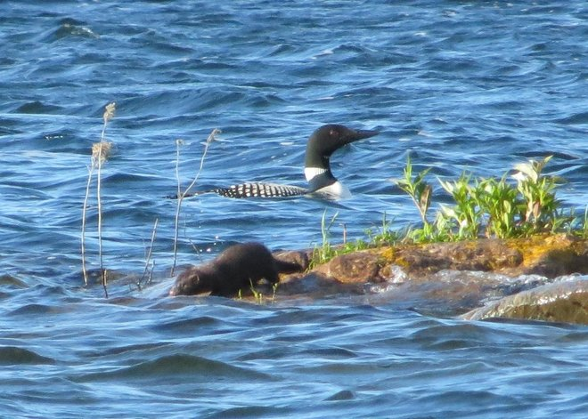 Loon and Mink Pointe au Baril, ON