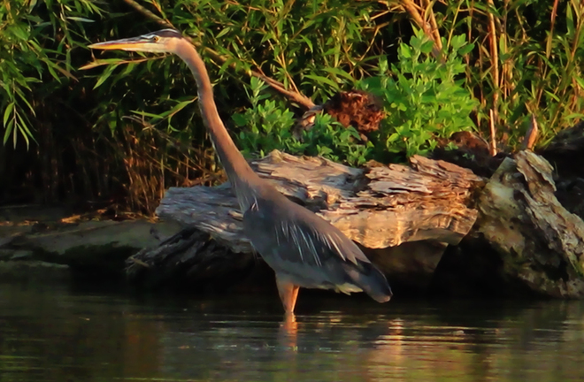 Great Blue Heron Tilbury, Chatham-Kent, ON