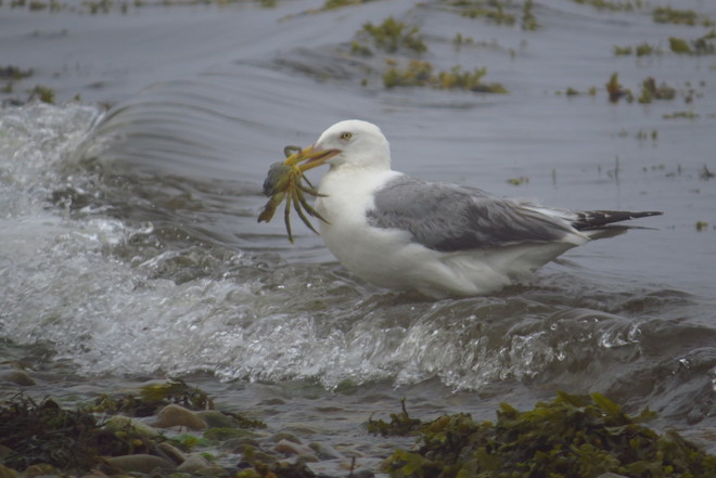 Herring Gull With Crab Chester, Nova Scotia Canada