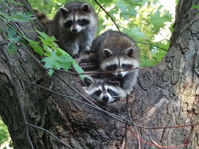 Racoon family ancaster, on