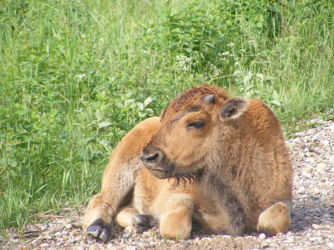 Young Bison, Riding Mountain National Park Portage la Prairie, MB