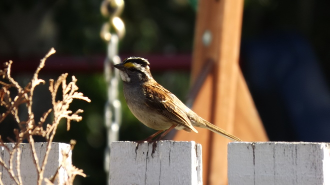 White throated sparrows feed on our lawn Fort McMurray, AB