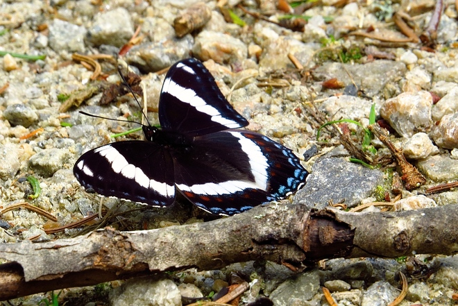 White Admiral Butterfly East Chester, Nova Scotia