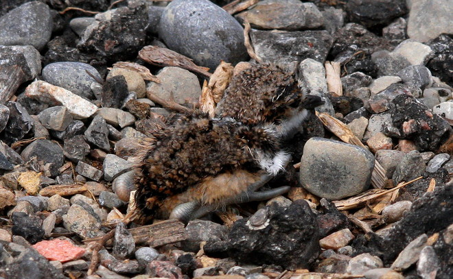newly hatched Killdeer 101-283 County Road 64, Brighton, ON K0K, Canada