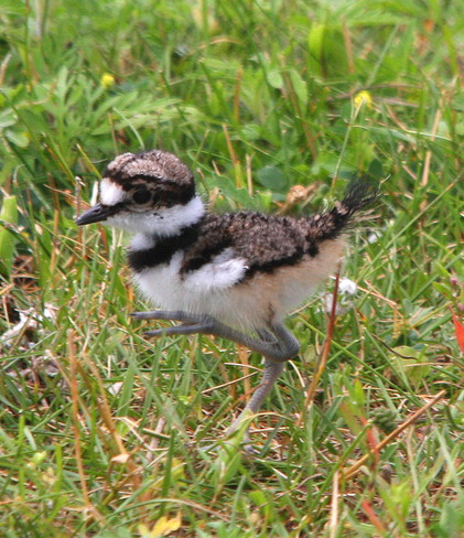 Brother of the nestling Killdeer 101-283 County Road 64, Brighton, ON K0K, Canada