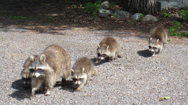 Racoon Family Wakefield, Quebec, QC