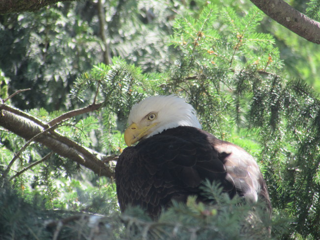 Eagle In a Tree Sechelt, BC