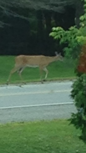 why did the deer cross the road Delta, Ontario Canada