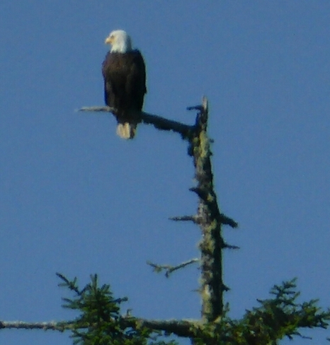A perch on the tallest tree Ucluelet, BC