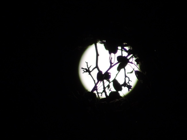 Full moon and seen through branches. Bathurst, NB