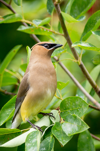 Cedar Waxwing Thornbury, Blue Mountains, ON