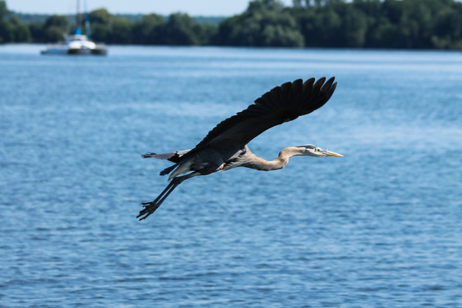 GBH flies away Kingston, ON