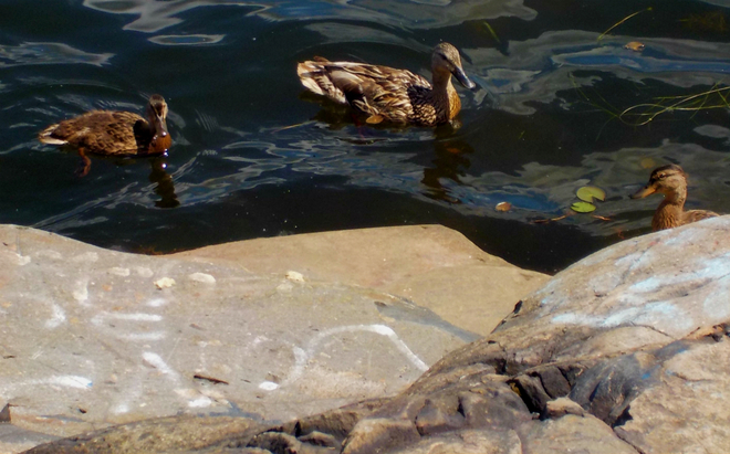 Three Friendly Ducks At Minnow Lake Sudbury, ON