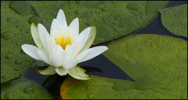 A wet lily and pads, Elliot Lake.