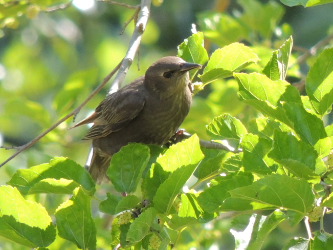 Mystery Bird ... Yellow-bellied Flycatcher baby? Nanticoke, ON