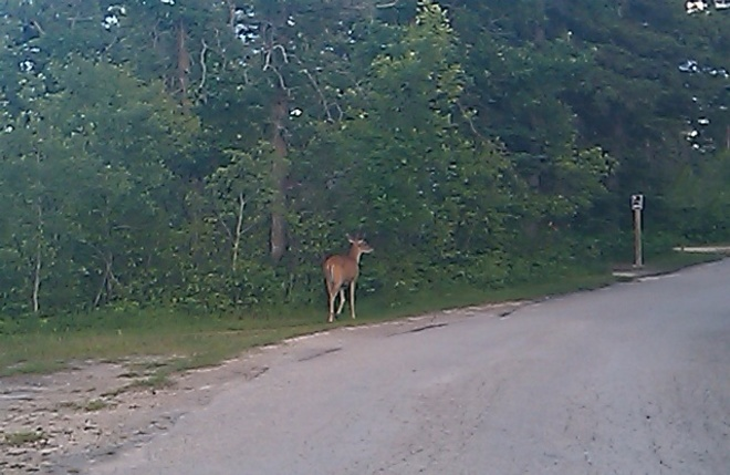 deer in campground North Drive, Oakbank, MB R0E 1J0, Canada
