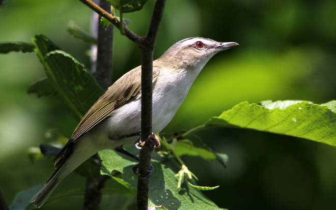 Red-eyed Vireo Fergus, ON